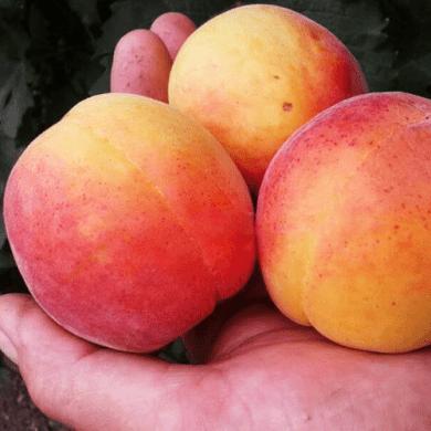 Саженцы абрикоса NGA-19