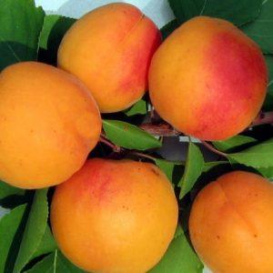 Саженцы абрикоса  Знаходка