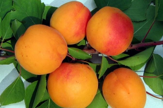 Саженцы абрикоса сорта Знаходка