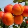 Саженцы  колоновидного абрикоса Голд