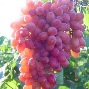 Саженцы винограда сорта Душистый