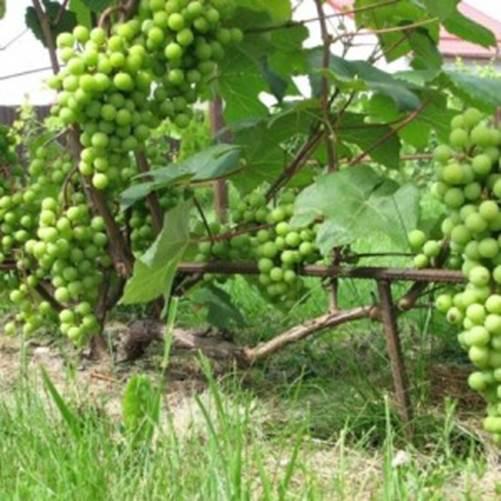 Саженцы винограда сорта Супага
