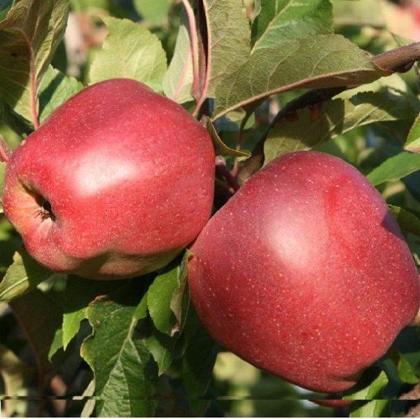 Саженцы яблони сорта Глостер