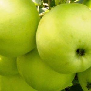 Саженцы яблони Антоновка обыкновенная