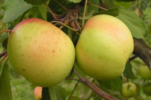 Саженцы яблони сорта Банановое