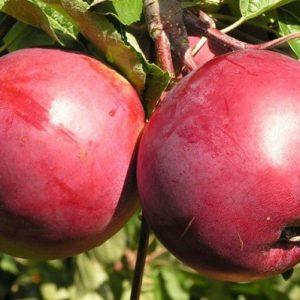 Саженцы яблони Белорусское сладкое