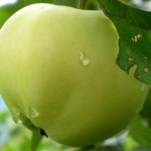 Саженцы яблони Белый налив