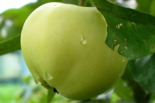 Все предложения в категории  Саженцы ранних сортов яблони