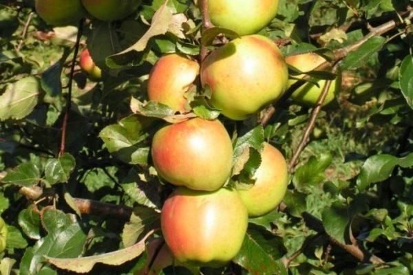 Саженцы яблони сорта Дыямент