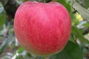 Саженцы яблони Джоногольд