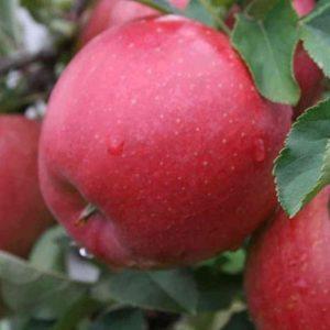 Саженцы яблони сорта Хани Крисп