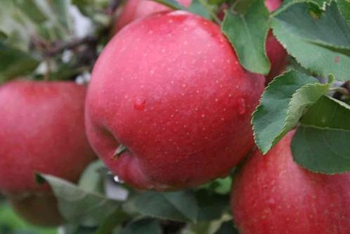 Саженцы яблони  Хани криспи (Медовый хруст)