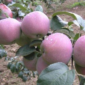 Саженцы яблони Имант