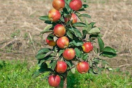 Саженцы колонновидной яблони Валюта