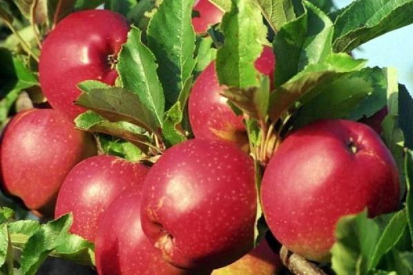 Саженцы яблони  Коваленковское