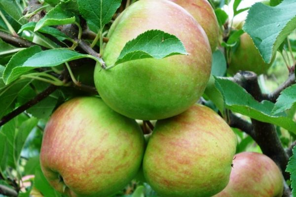 Саженцы яблони сорта Красавита