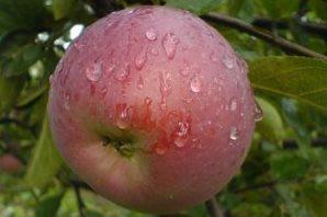Саженцы яблони сорта Орлик