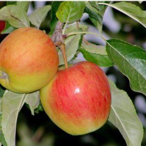Саженцы яблони сорта Пирос