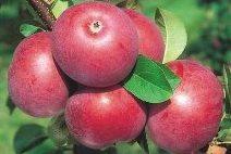 Саженцы яблони Поларед