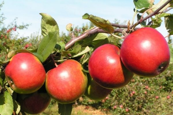 Саженцы яблони  Поспех