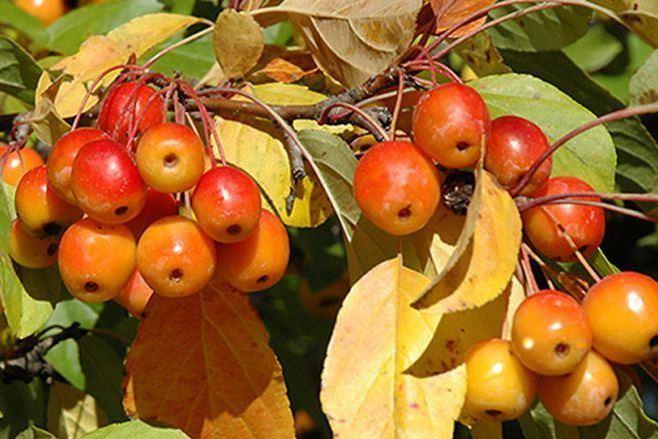 Саженцы яблони Райские
