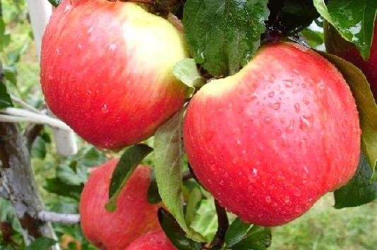 Саженцы яблони  Санрайз