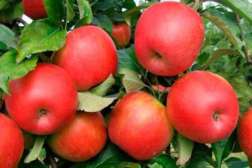 Саженцы яблони Сябрина