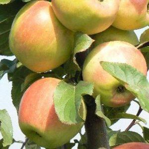 Саженцы яблони сорта Заря Алатау