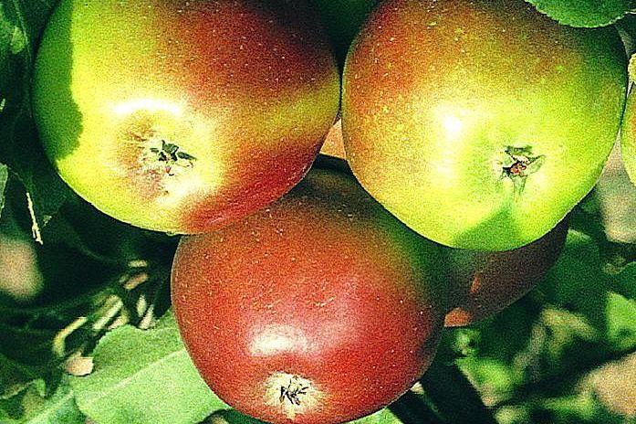 Саженцы яблони Заславское