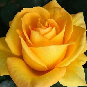 Roza Kjorn