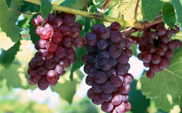Vinograd Lidija