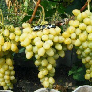 Vinograd Lora