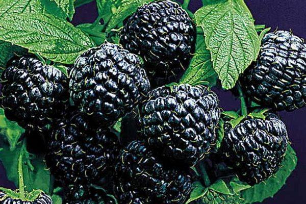 Саженцы малины черной