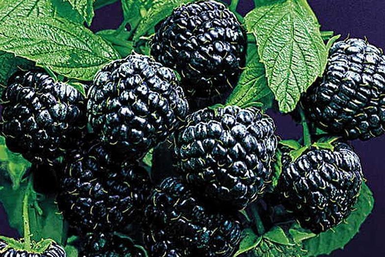Саженцы малины черной сорта Кумберленд