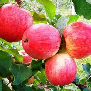 Саженцы яблони Мечта
