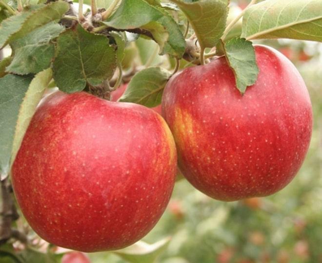 Саженцы яблони Найдаред