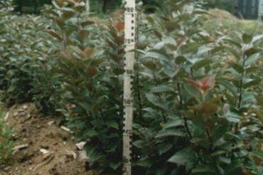 Клоновый подвой яблони 62-396