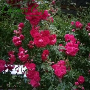 Саженцы розы плетистой