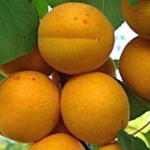 Саженцы абрикоса сорта Лель
