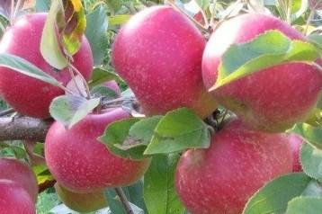 Саженцы яблони  Ред крафт