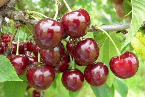 Саженцы вишни сорта Памяти Вавилова