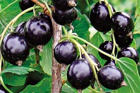 Саженцы смородины черной Катюша