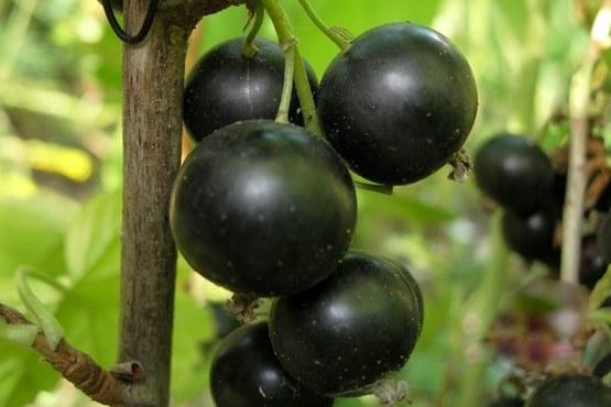 Саженцы смородины черной Селеченская-2