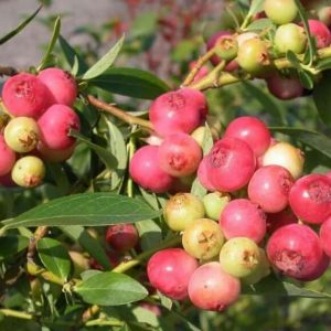 Саженцы голубики Розовый лимонад