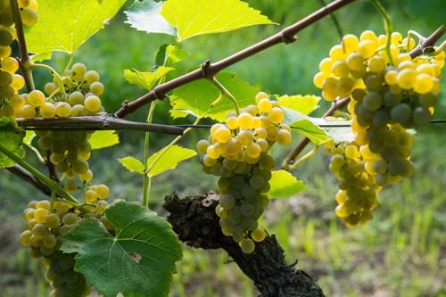Vinograd Solaris