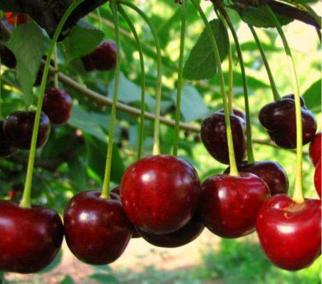 Саженцы вишни Молодежной