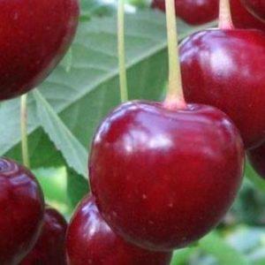 Саженцы вишни Новодворская