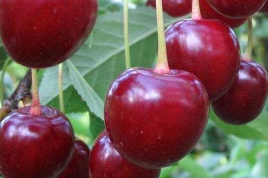 Саженцы вишни сорта Новодворская