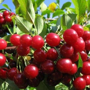 Саженцы вишни Живица