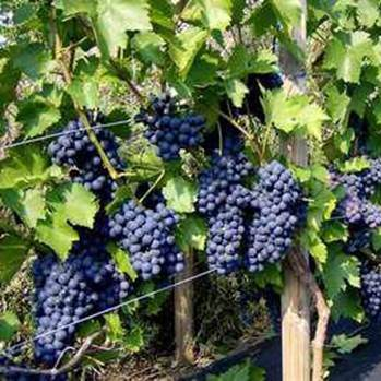 Саженцы винограда сорта Зилга